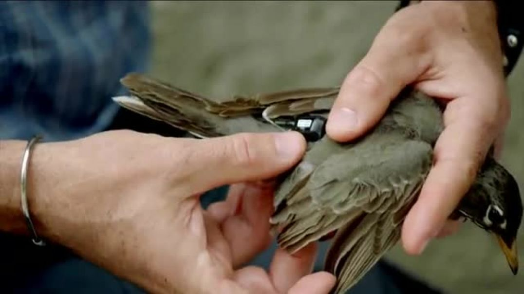 Watch BTN LiveBIG TV Commercial Ad, Why Indiana Is Putting Backpacks on Birds