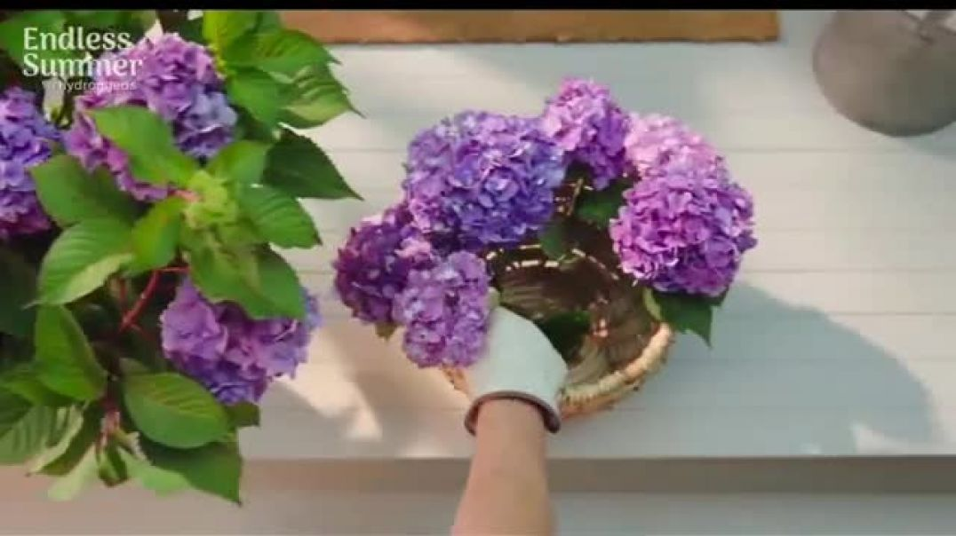 Endless Summer BloomStruck Hydrangeas TV Commercial Ad, Life in Full Bloom.mp4