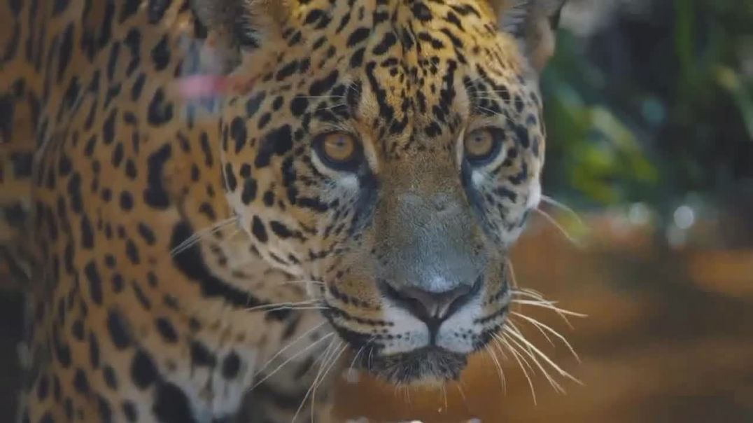 World Wildlife Fund TV Commercial Ad 2020, WWF on TV- Jaguars